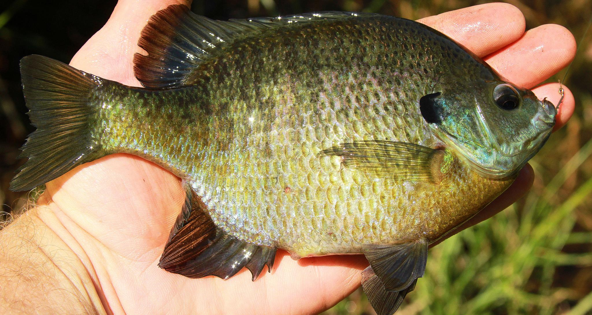 FACT CHECK: Bluegills Are Dangerous and Related to Piranha