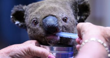 """[FACT CHECK] Are Koalas """"Functionally Extinct?"""" How Many Are Left in 2019?"""